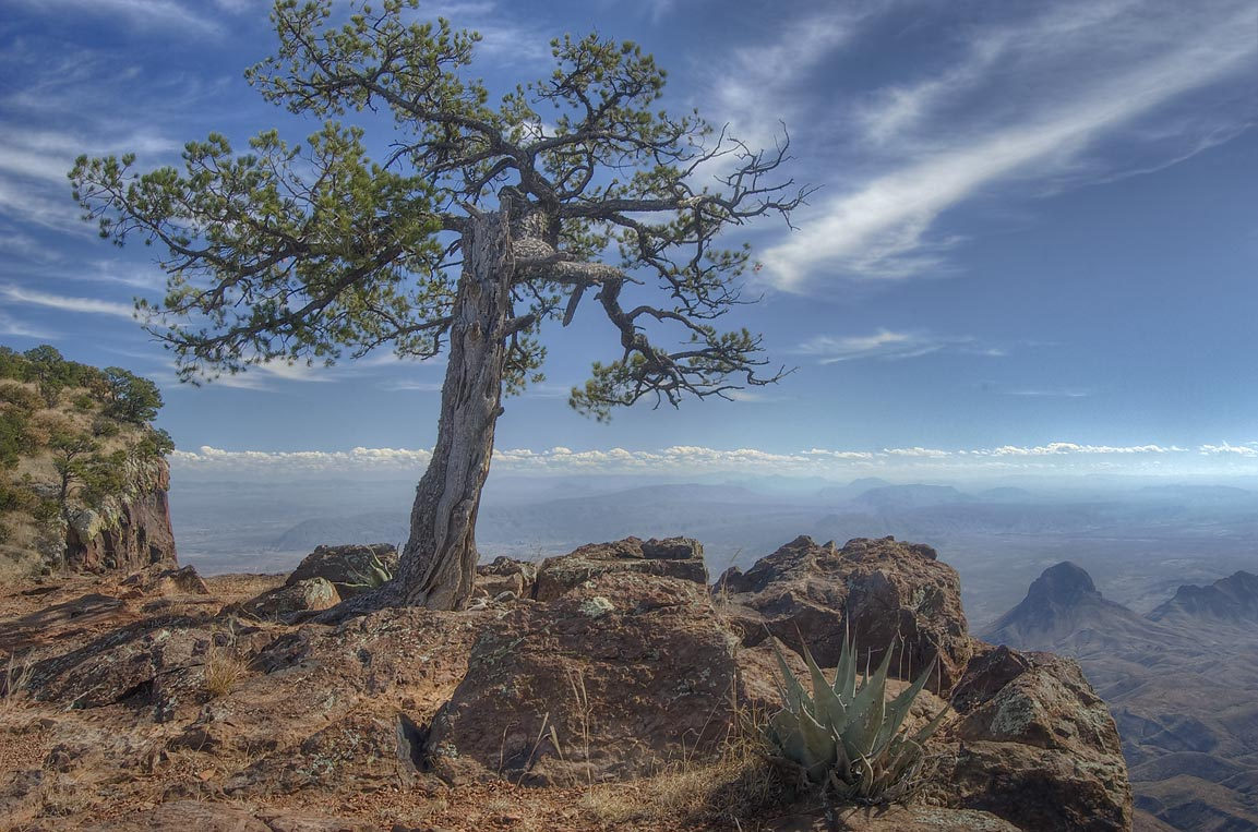 Crooked pine growing on South Rim. Big Bend National Park
