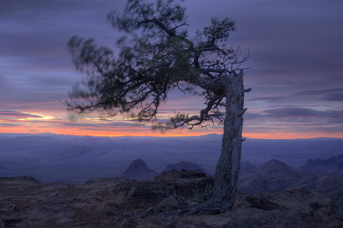 Crooked pine on South Rim at morning. Big Bend National Park