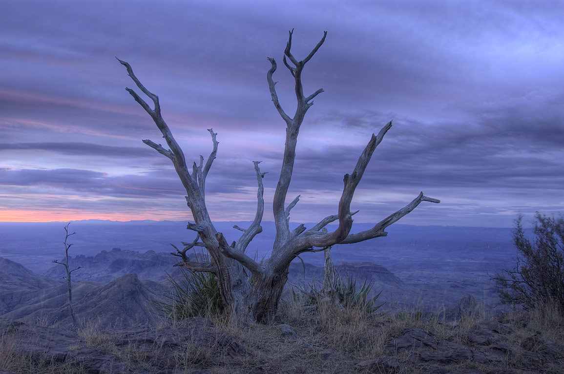 Dry juniper tree on South Rim at morning. Big Bend National Park