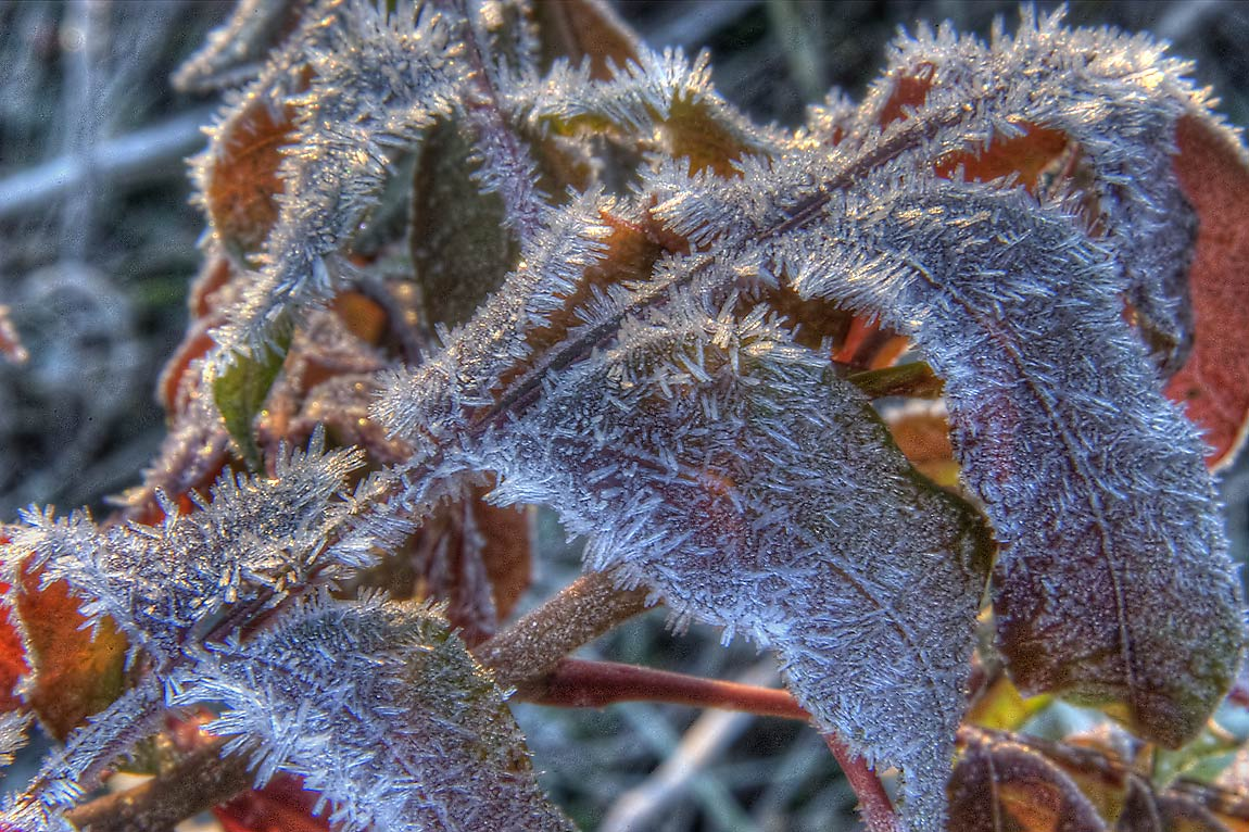 Frost on leaves of sumac. Lake Bryan Park. Bryan, Texas