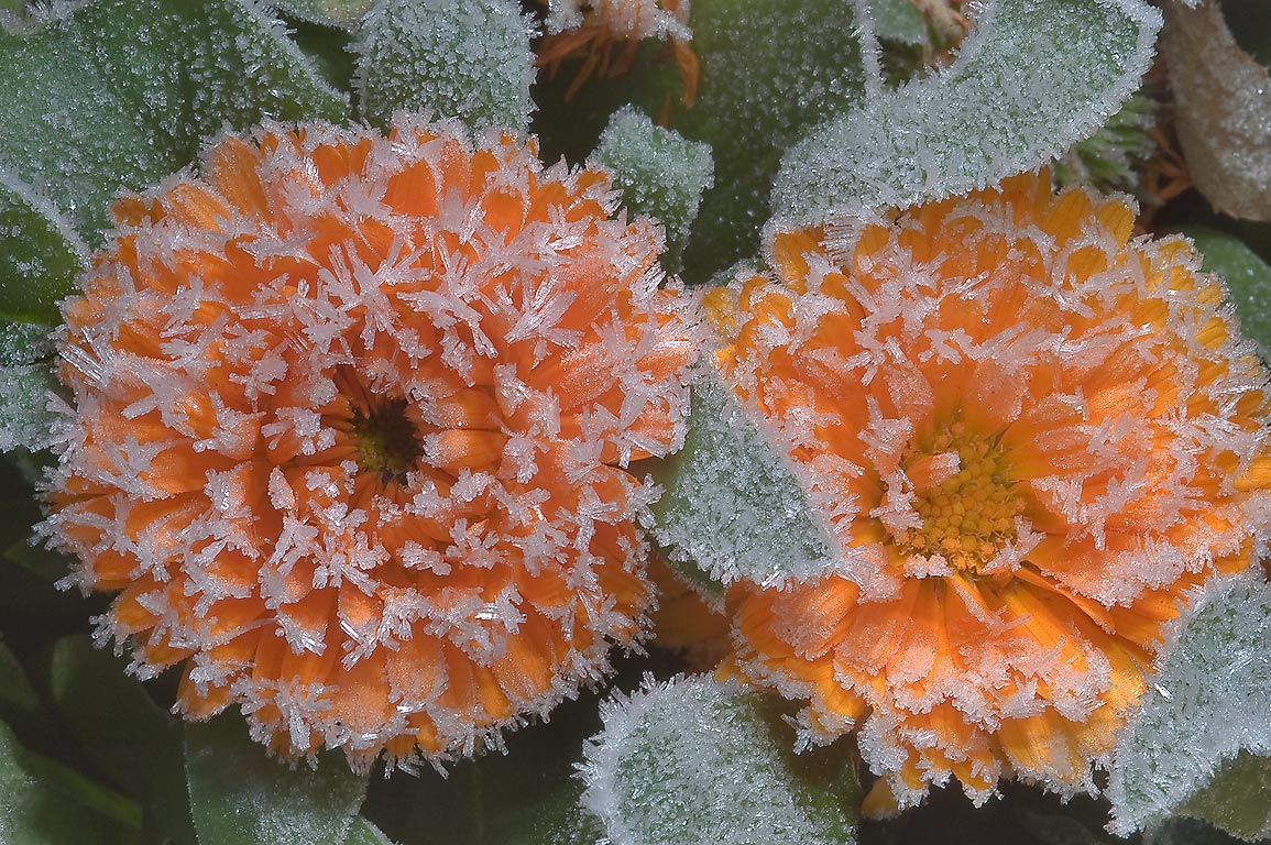 Frozen marigolds in TAMU Holistic Garden in Texas...M University. College Station, Texas