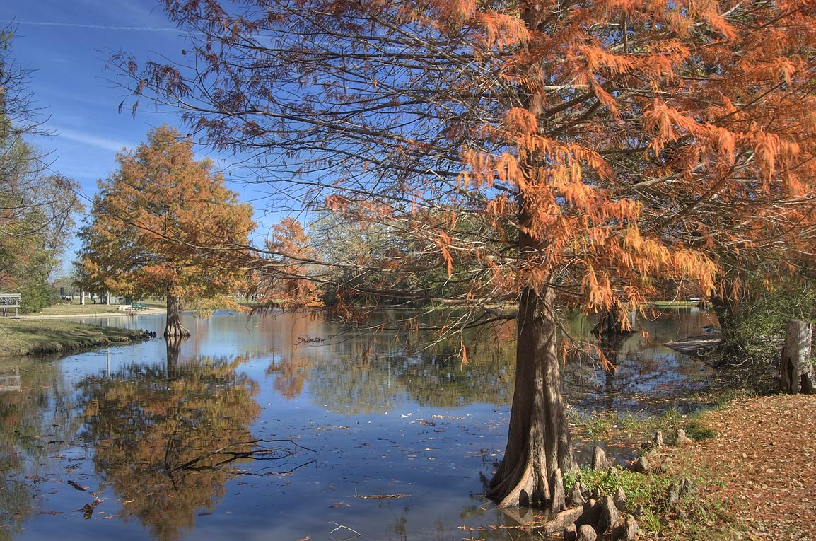 Bald cypress trees in Central Park pond. College Station, Texas