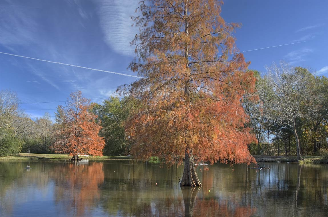 Bald cypress trees in a fishing pond of Central Park. College Station, Texas