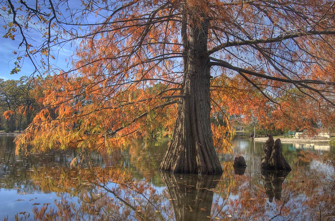 Cypress tree in a pond of Central Park. College Station, Texas