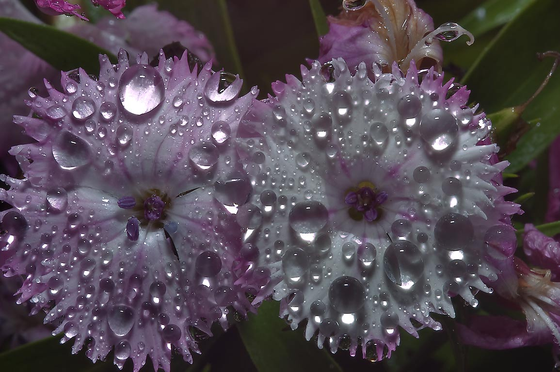 Dianthus with water drops in Antique Rose Emporium. Independence, Texas