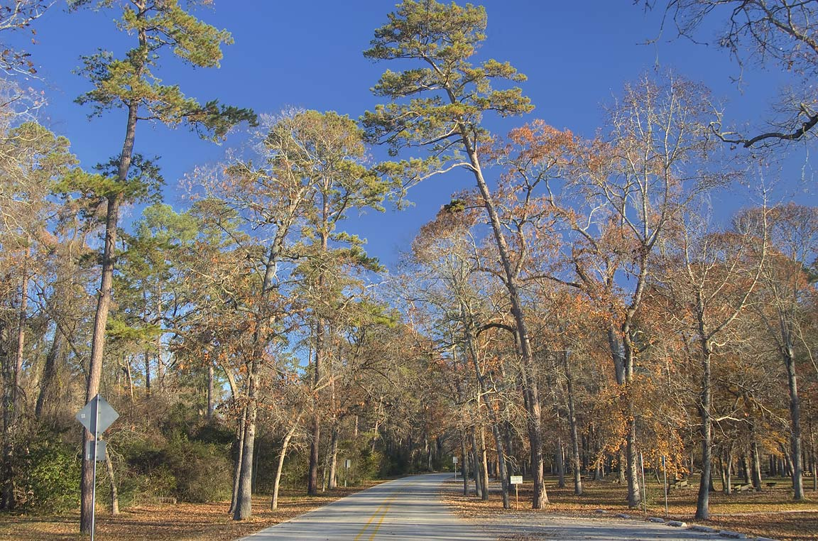 Pine trees along park road in Huntsville State Park. Texas
