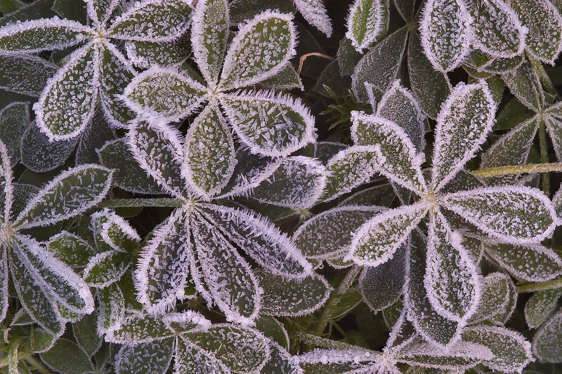 Ice crystals on palmately compound leaves of...M University. College Station, Texas