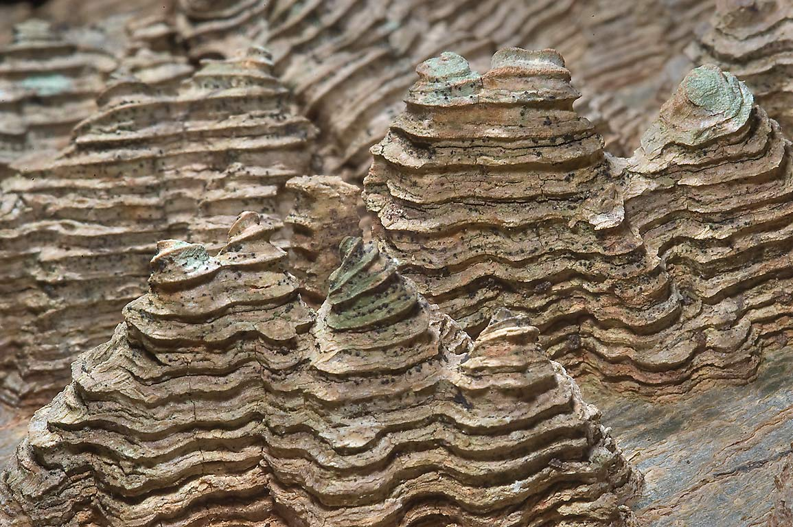 Warty texture with corky ridges of bark of...State Historic Site. Washington, Texas