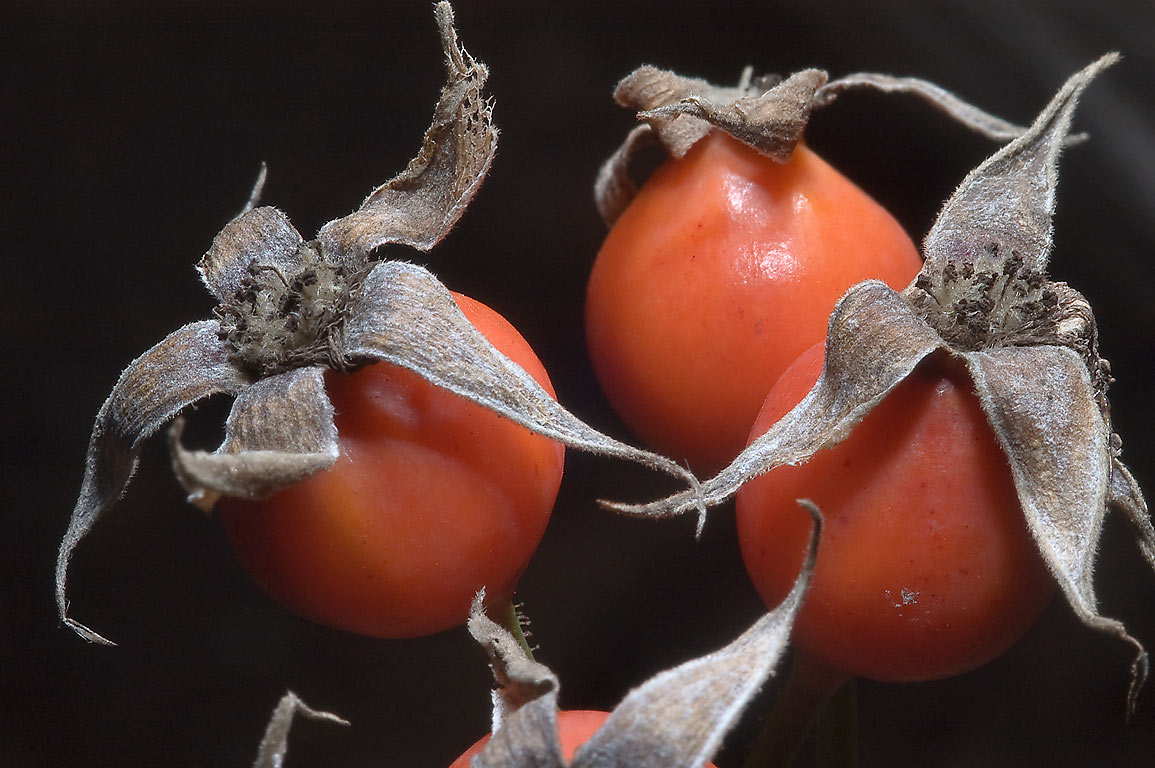 Orange rose hips (seed pods) in Antique Rose Emporium. Independence, Texas