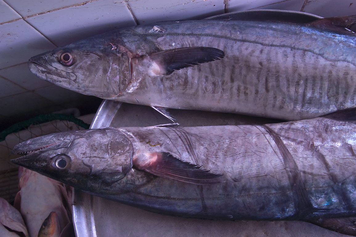 King fish (mackerel) in fish market in Al Wakra, south from Doha. Qatar