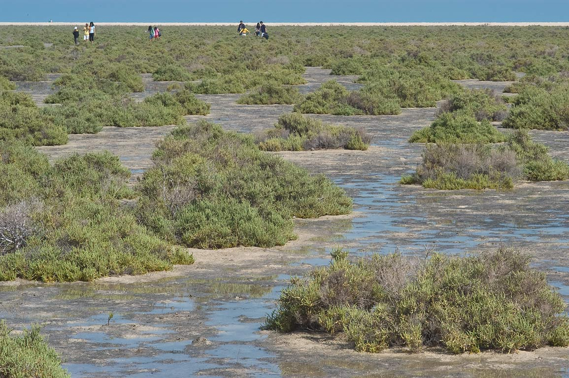 Salt marsh with plants of Glaucous glasswort...coastal area near Mesaieed. Qatar