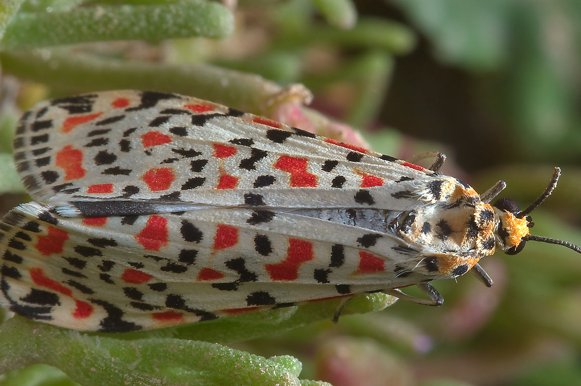 Salt-and-pepper moth (Utetheisa lotrix) or may be...site on northwest coast. Qatar