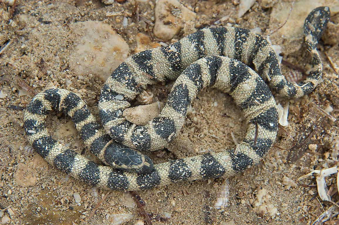 Dying beached Annulated sea snake (Hydrophis...of Ruwais on northwest coast. Qatar