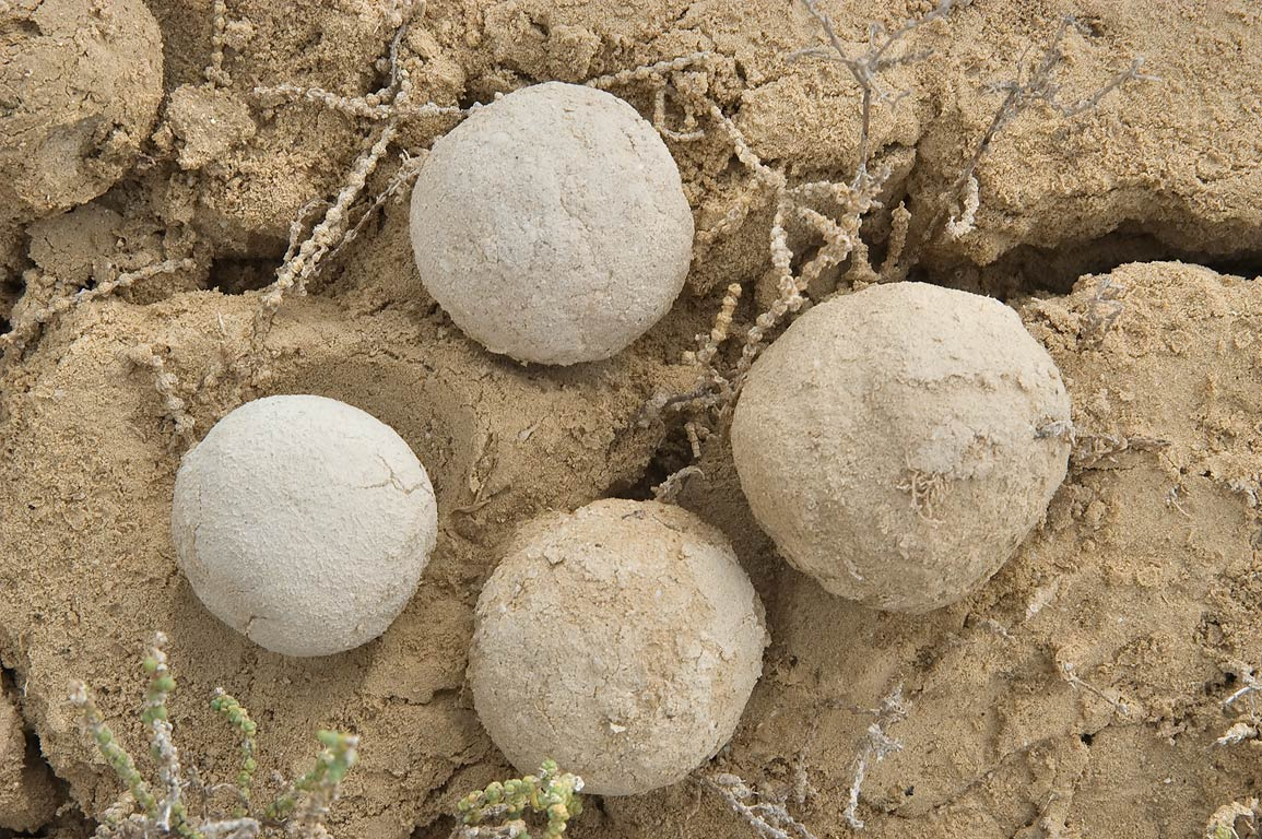Mysterious clay balls on a beach of Ras Abrouq in...area, north from Zekreet. Qatar