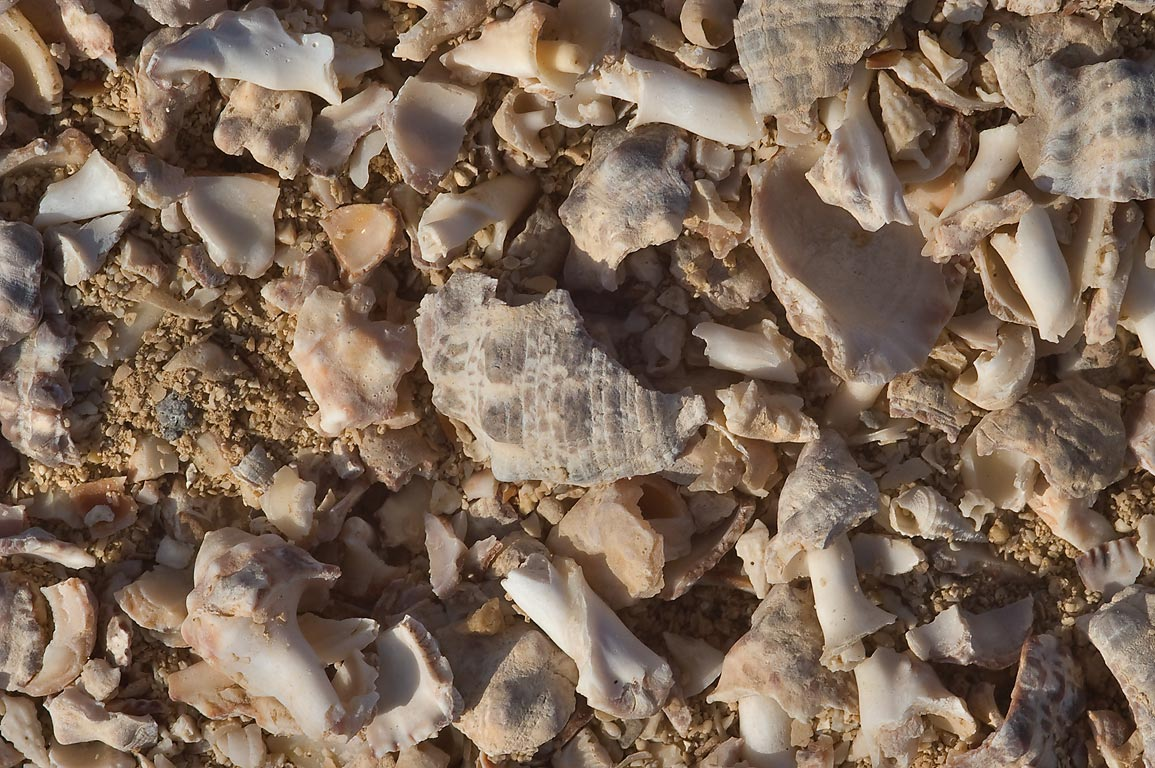 Millions crushed shells of Thais Savignyi from a...Jazirat Bin Ghanim). Al Khor, Qatar
