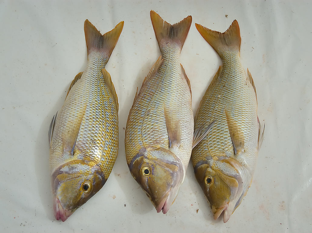 Three Spangled Emperor (Sheirii, Lethrinus...Corniche Fresh Fish Sold. Doha, Qatar