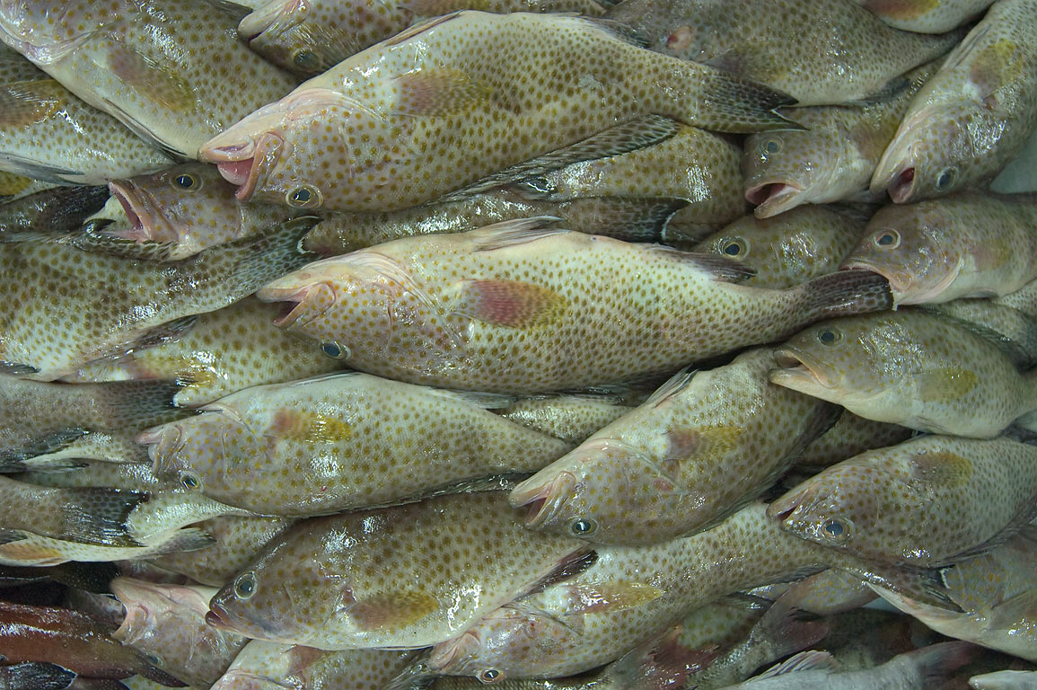The most popular fish Hammour (Brown spotted...in Central Fish Market. Doha, Qatar