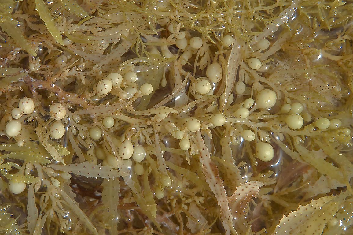 Sargassum seaweed opposite to Fuwairit Hills...on north-eastern coast. Qatar