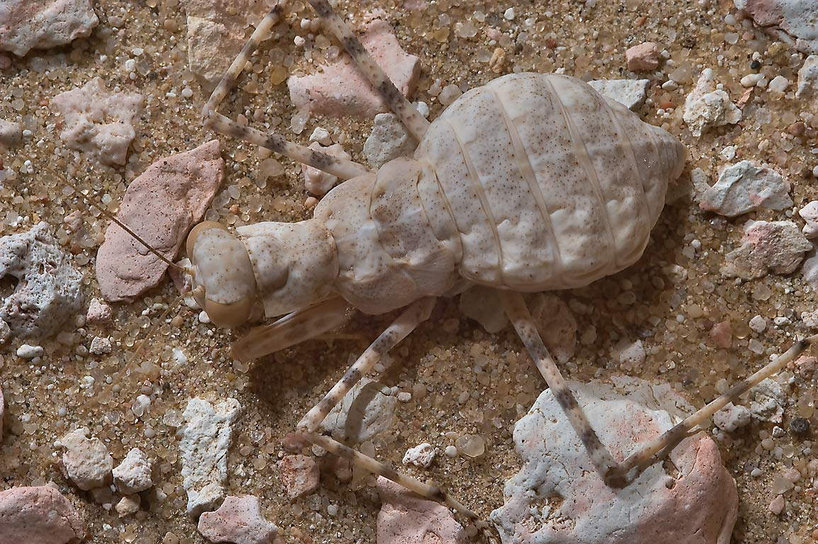Common ground mantis (Eremiaphila baueri) in...40 miles south-west from Doha. Qatar