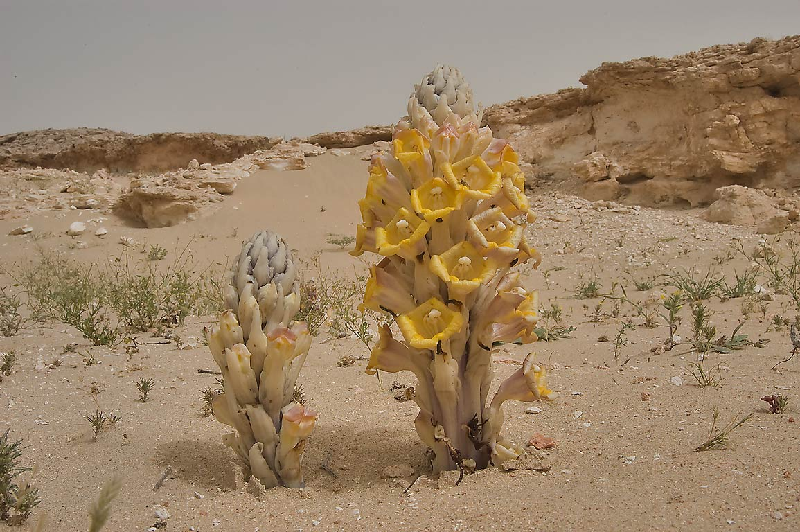 Parasitic plants Cistanche tubulosa (desert...40 miles south-west from Doha. Qatar