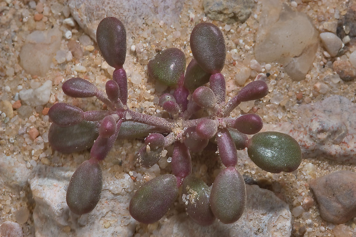Seedling of a desert plant Zygophyllum qatarense...40 miles south-west from Doha. Qatar