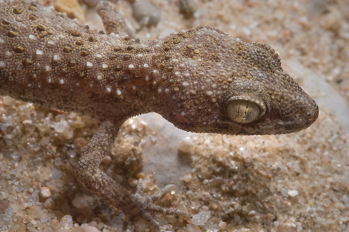 Baluch ground gecko Bunopus tuberculatus (Baiuch...40 miles south-west from Doha. Qatar