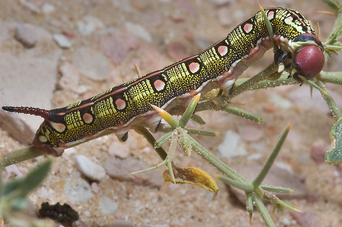 Striped Hawkmoth caterpillar (Hyles livornica) in...40 miles south-west from Doha. Qatar