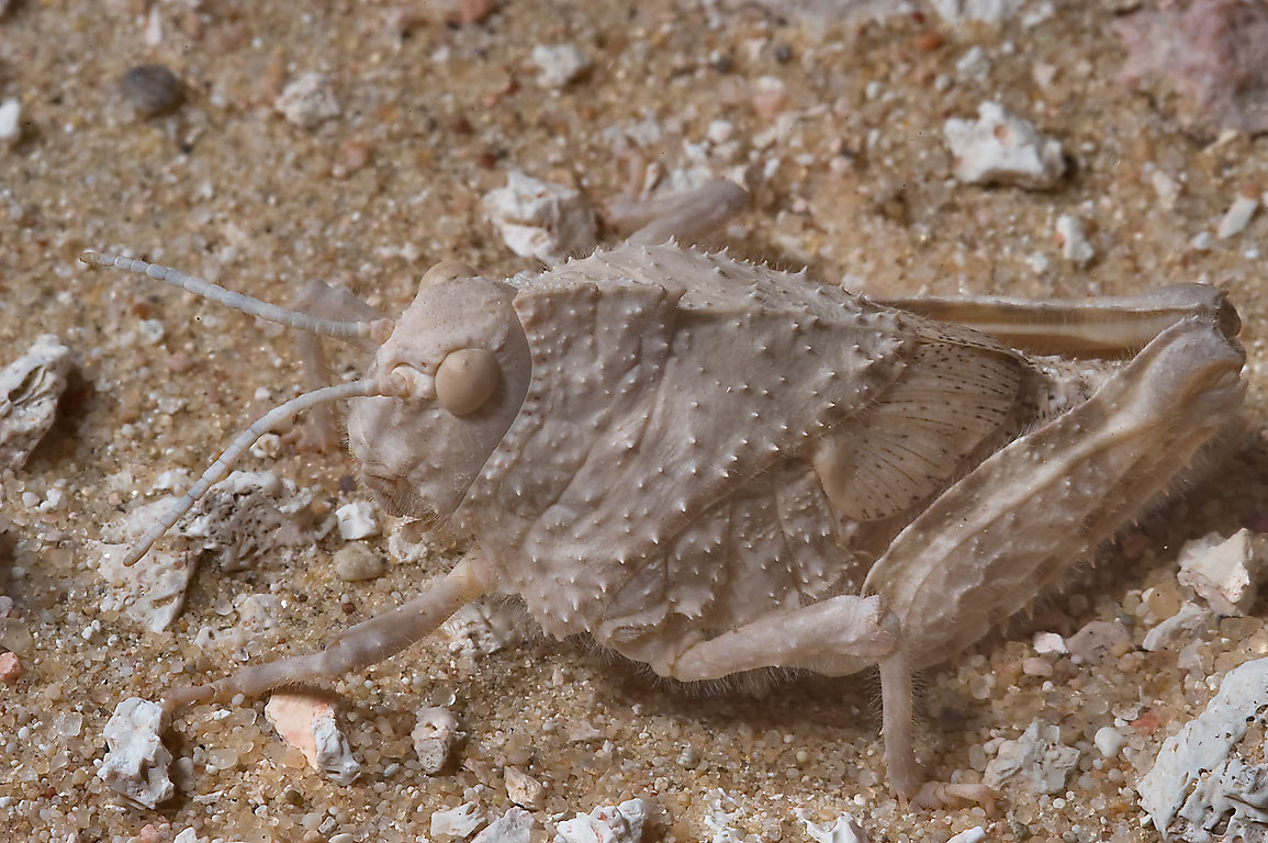 Squat shaped, camouflaged body of grasshopper...40 miles south-west from Doha. Qatar