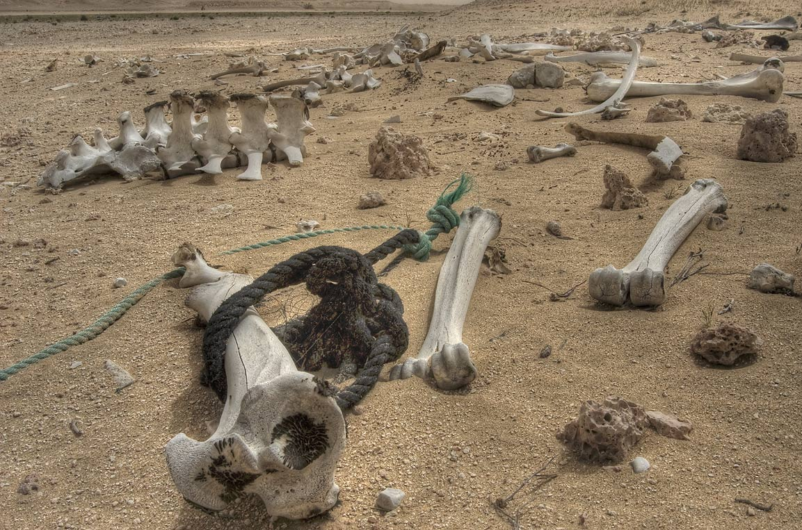 Bone set of a camel in desert. Harrarah, 40 miles south-west from Doha. Qatar