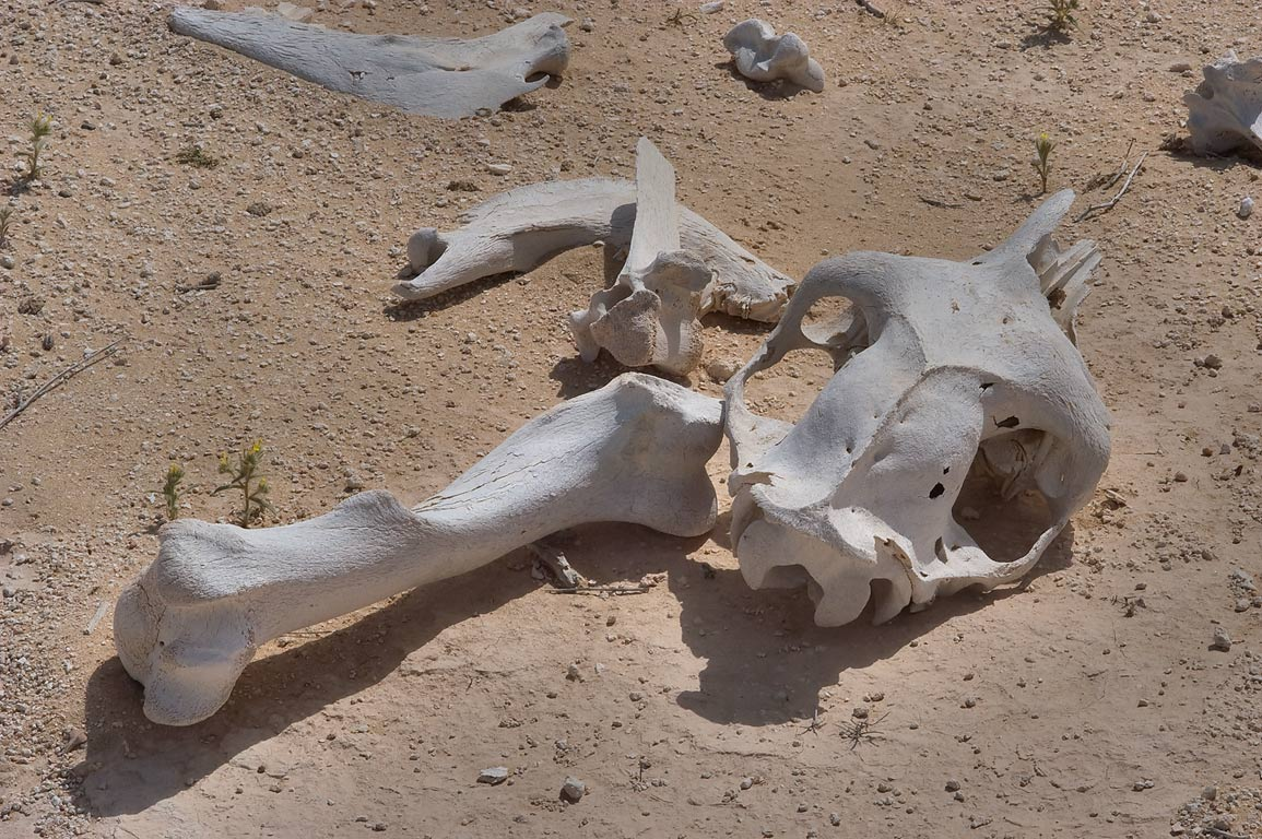 Skull and bones of camels in desert. Harrarah, 40 miles south-west from Doha, Qatar