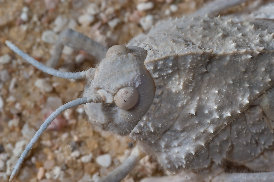 Warty, camouflaged head of grasshopper Tuarega...40 miles south-west from Doha, Qatar