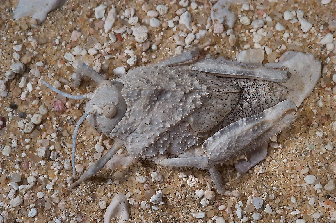 Warty, squat, camouflaged body of grasshopper...40 miles south-west from Doha, Qatar