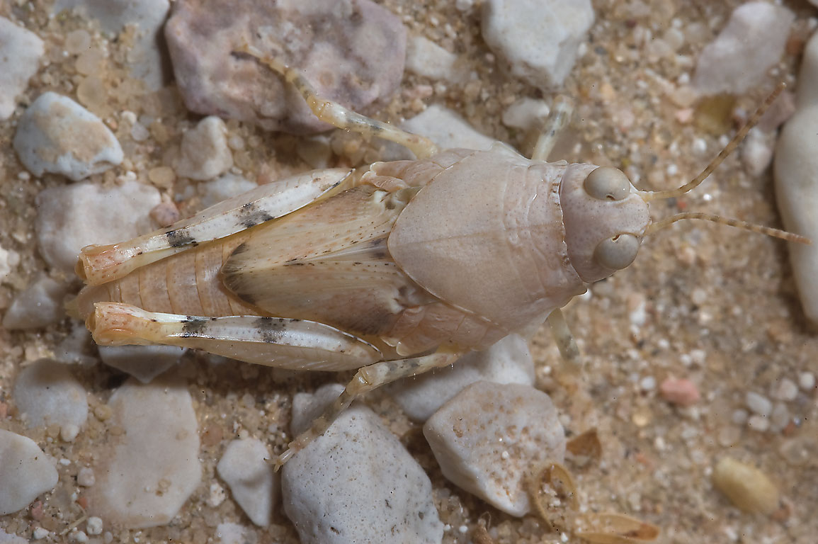 Small brown grasshopper in desert. Harrarah, 40 miles south-west from Doha, Qatar