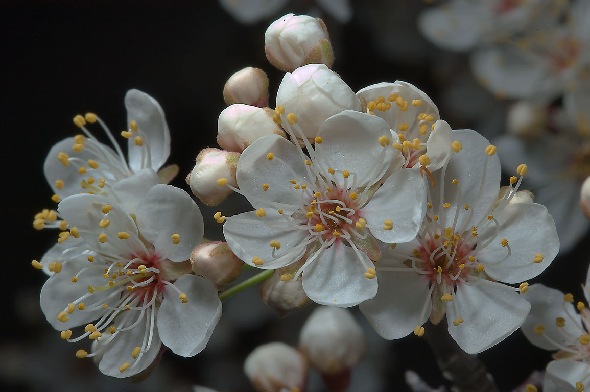 Blooming Mexican plum (Prunus mexicana) in TAMU...M University. College Station, Texas