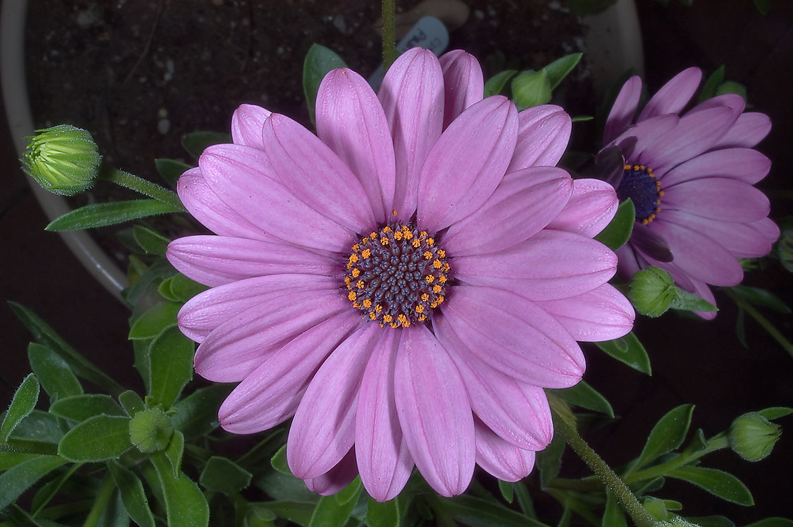 African daisy (Osteospermum) in TAMU Holistic...M University. College Station, Texas