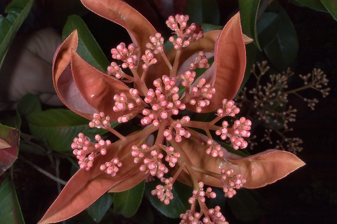 Pink flower buds of Viburnum tinus in TAMU...M University. College Station, Texas