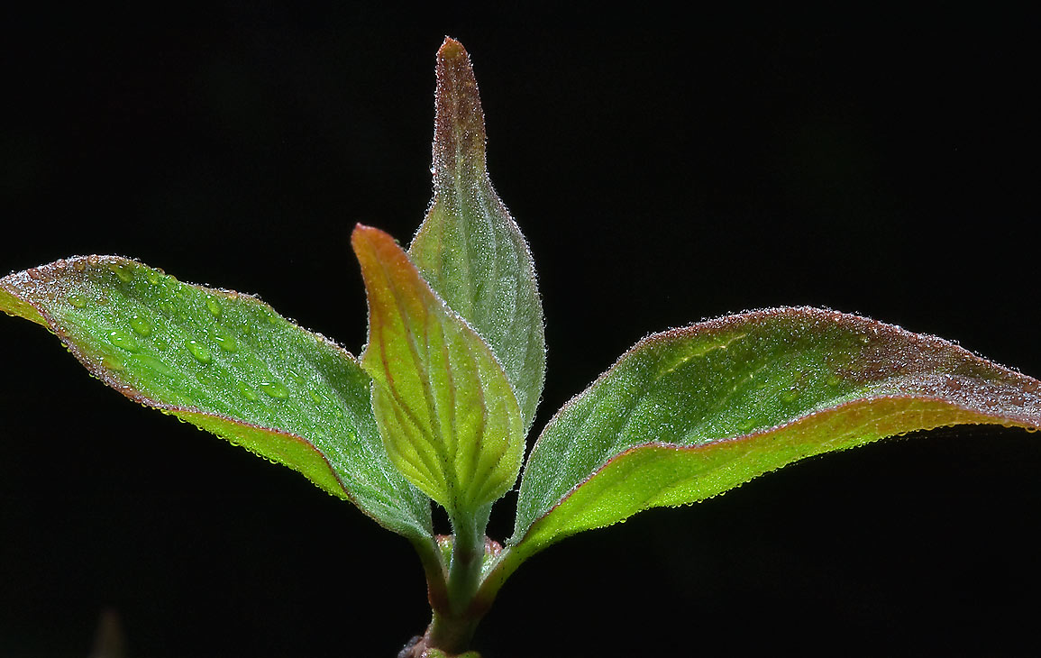 Young tender leaves of rough-leaf dogwood (Cornus...State Historic Site. Washington, Texas