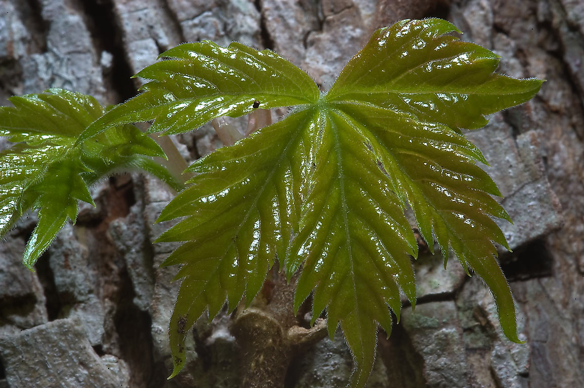 Young tender leaves of Virginia creeper in...State Historic Site. Washington, Texas
