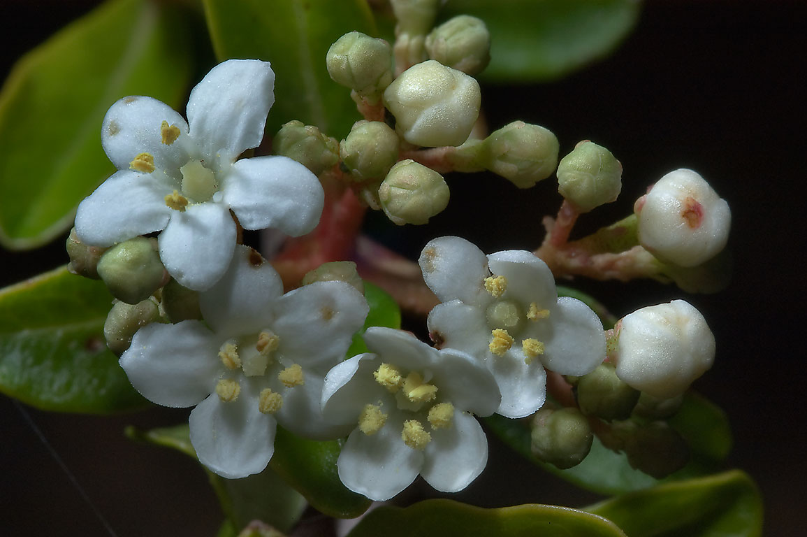 Viburnum tinus flowers in TAMU Horticultural...M University. College Station, Texas