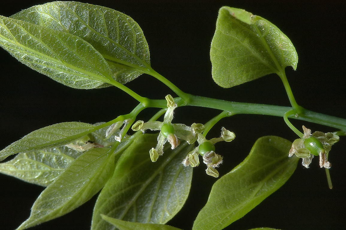 Young leaves and flowers of hackberry (Sugarberry...Lemontree Park. College Station, Texas