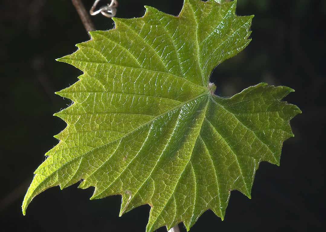 Back-lit leaf of mustang grape in Washington-on...State Historic Site. Washington, Texas