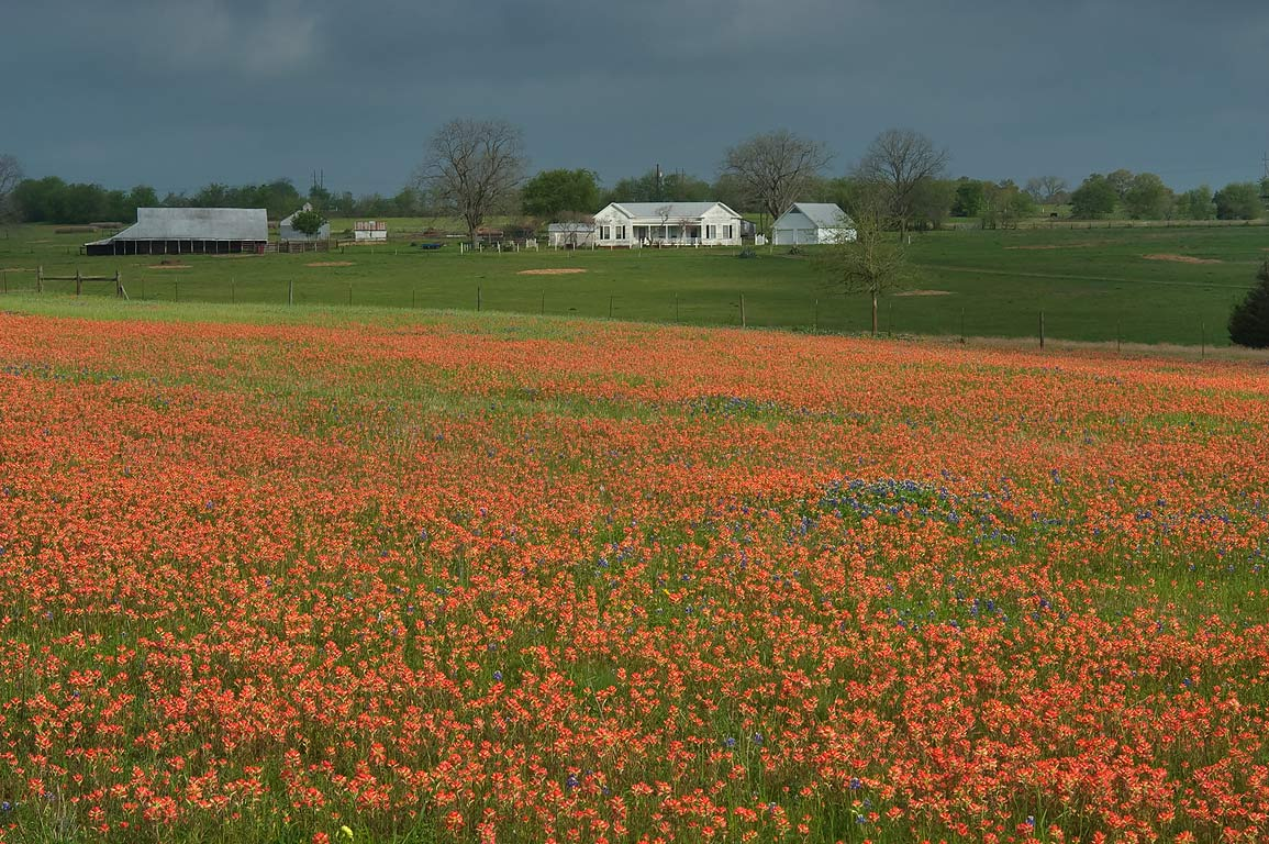 Field of Indian paintbrush flowers near Old Independence Rd.. North from Brenham, Texas
