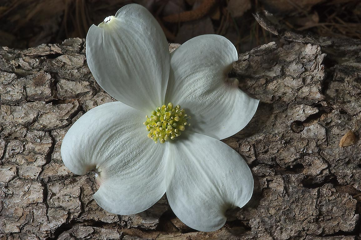 Cut dogwood flower in Huntsville State Park on Chinquapin Trail. Texas
