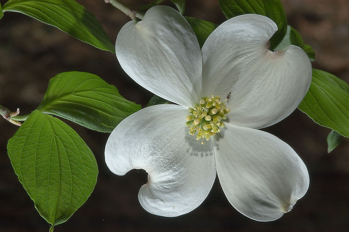 Dogwood (Cornus florida) in bloom in Huntsville State Park on Chinquapin Trail. Texas