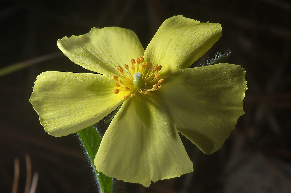 Yellow flower of Rock-rose (frostweed, sunrose...Lake Creek Loop Trail. Richards, Texas
