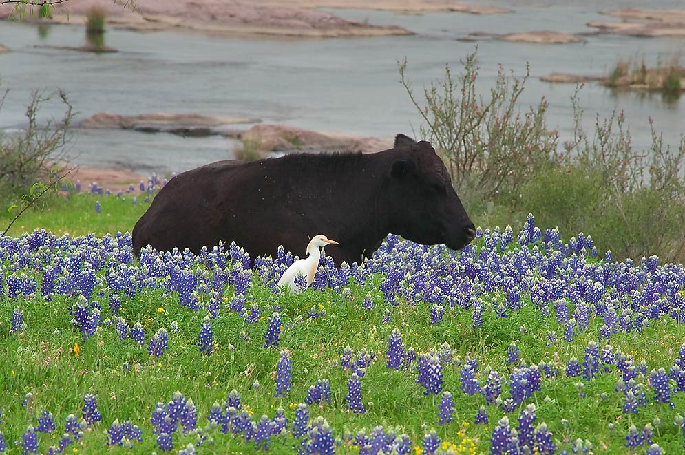 Photo 848 06 Black Cow Among Bluebonnet Flowers In Long