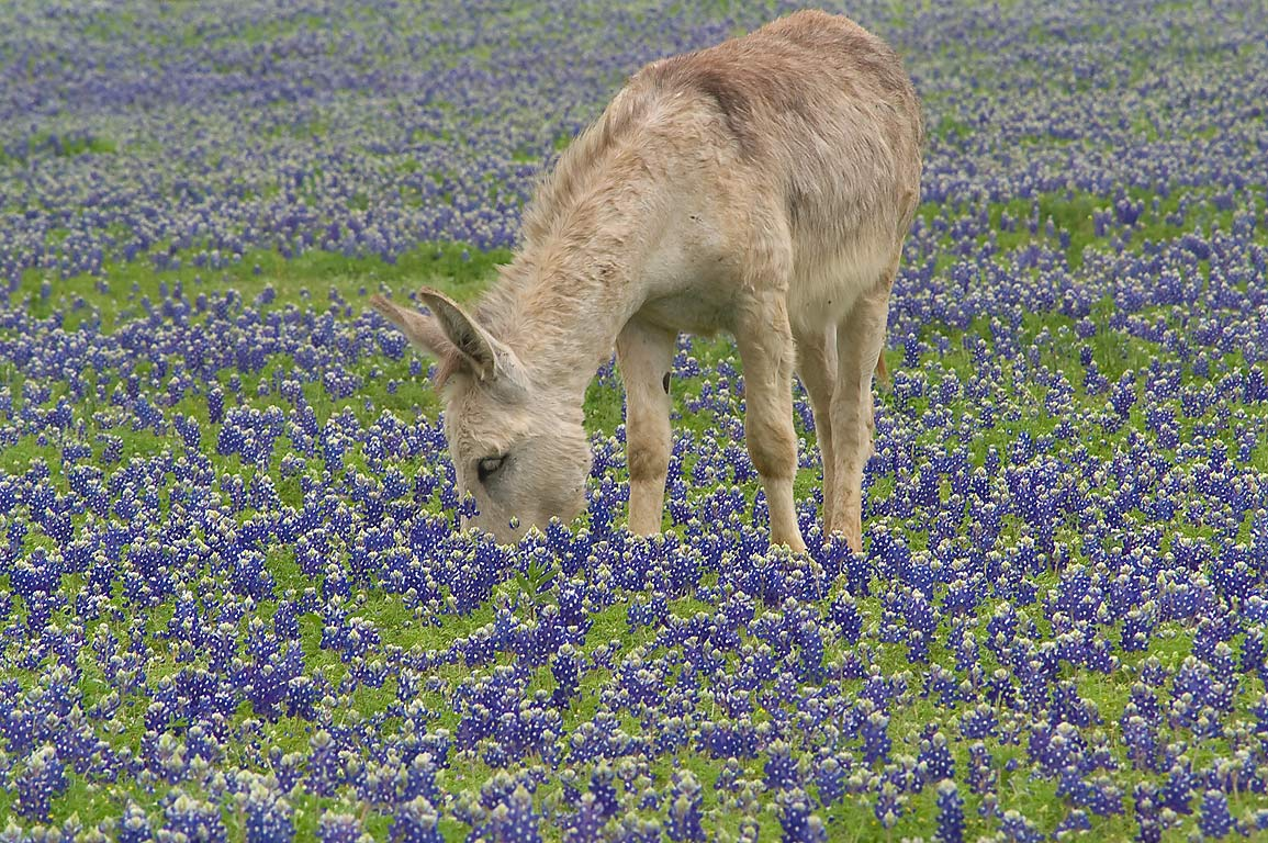 Donkey in bluebonnet flowers in Long Ranch, east from Llano. Texas