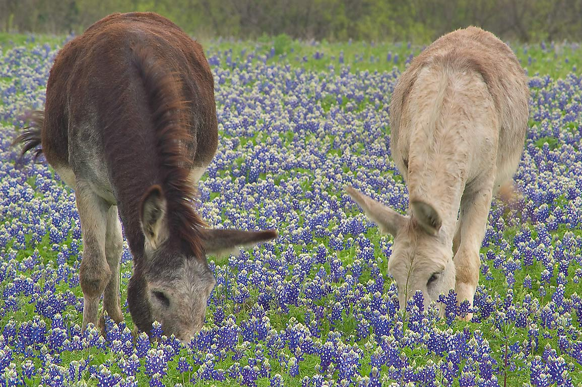 Donkeys grazing among bluebonnet flowers in Long Ranch, east from Llano. Texas
