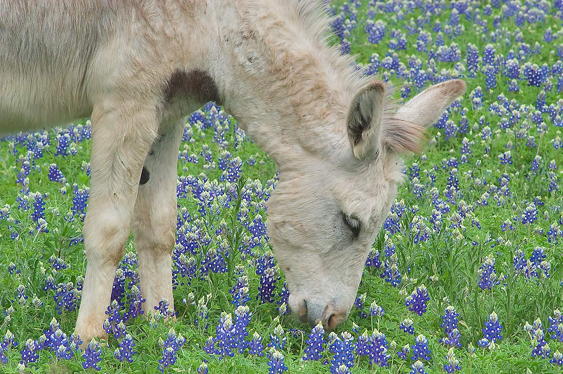 Grazing donkey in Long Ranch, east from Llano. Texas