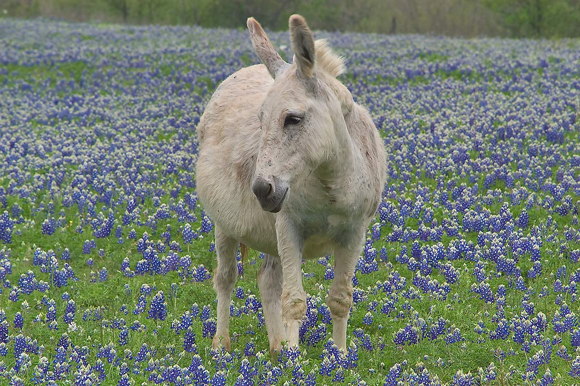 Donkey in a field of bluebonnets in Long Ranch, east from Llano. Texas